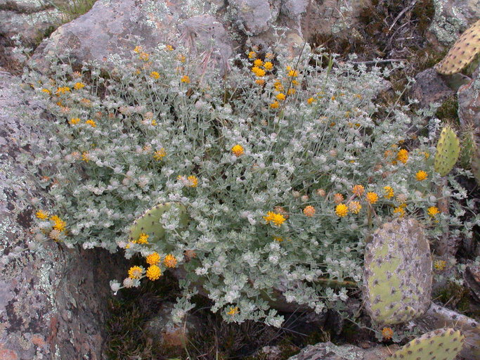 Acmispon argophyllus var. argenteus