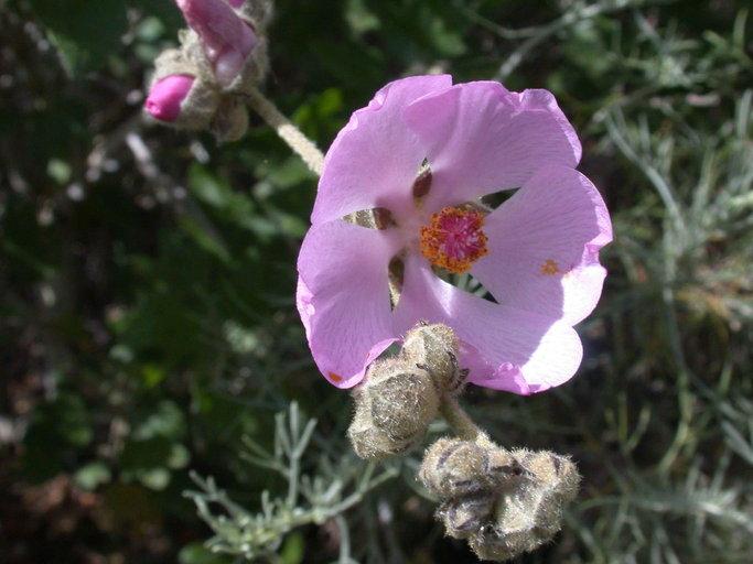 Malacothamnus fasciculatus var. catalinensis
