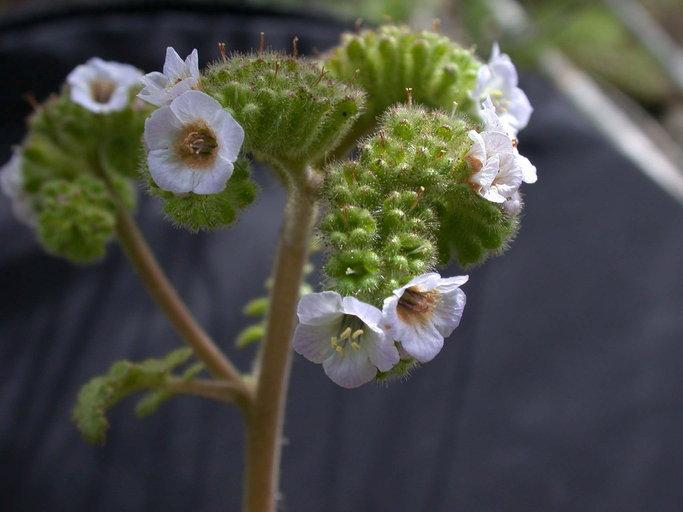 Phacelia lyonii