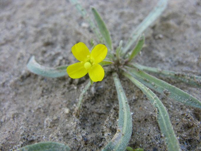 Camissoniopsis pallida ssp. pallida