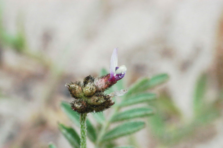Astragalus didymocarpus var. didymocarpus
