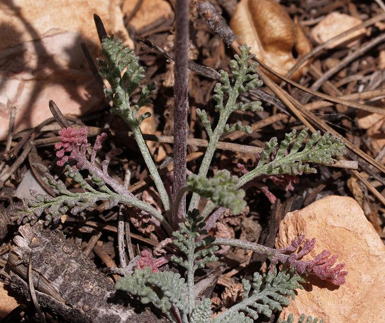 Chaenactis douglasii