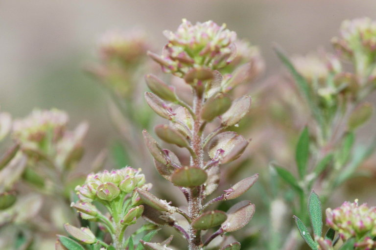 Image of Lepidium oblongum