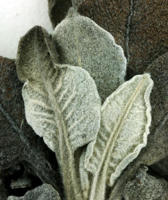 Eriogonum giganteum var. compactum