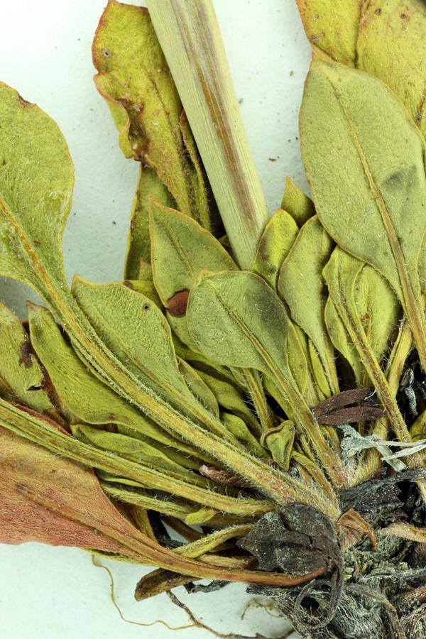 Eriogonum hirtellum