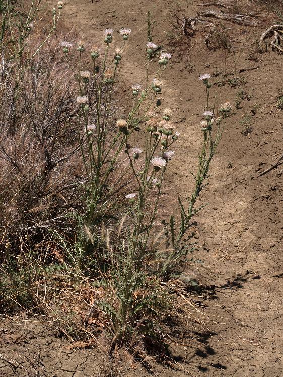 Cirsium undulatum
