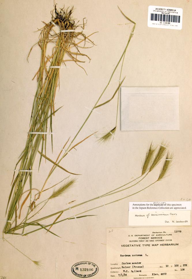 Hordeum arizonicum