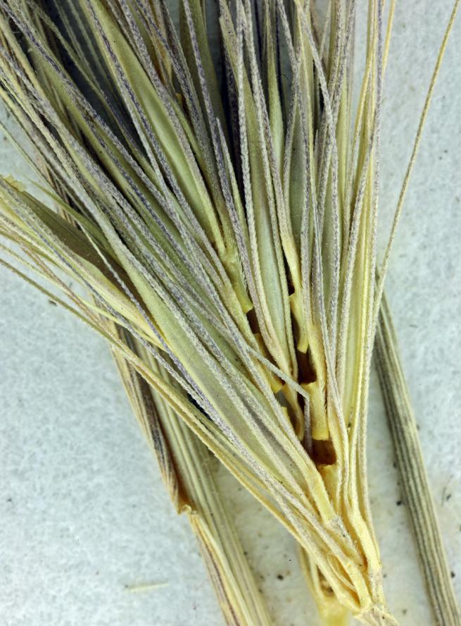 Hordeum brachyantherum ssp. californicum