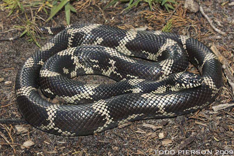 Lampropeltis Getula The Reptile Database