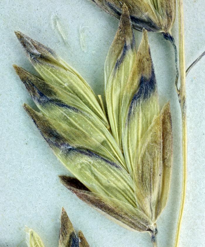 Melica spectabilis