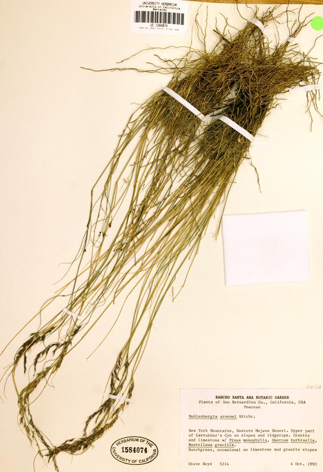 Muhlenbergia arsenei