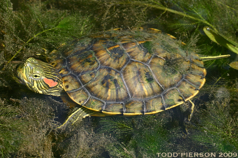 Trachemys scripta the reptile database for Trachemys scripta