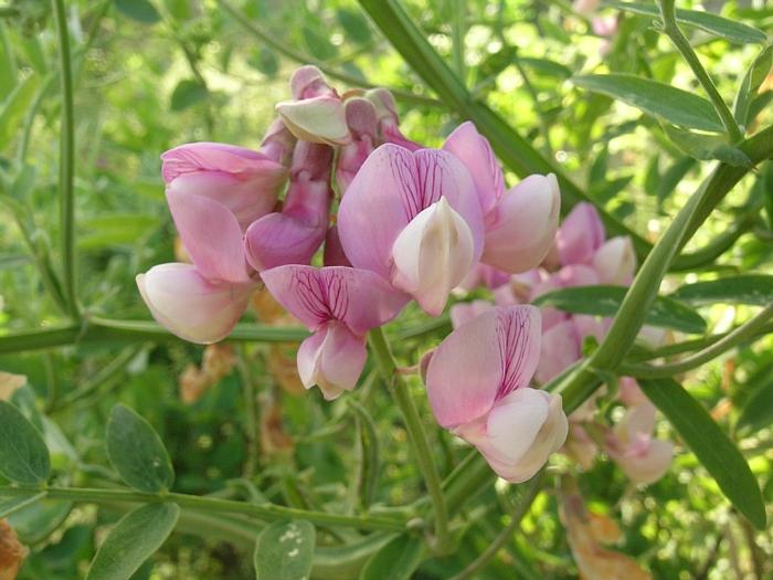 Lathyrus jepsonii var. californicus