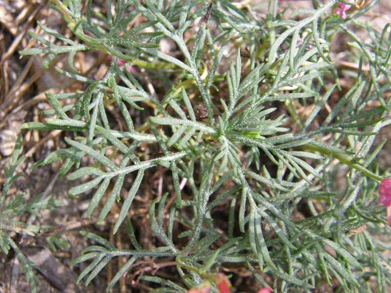 Ipomopsis aggregata ssp. bridgesii