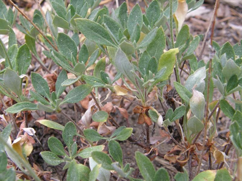 Eriogonum umbellatum var. furcosum