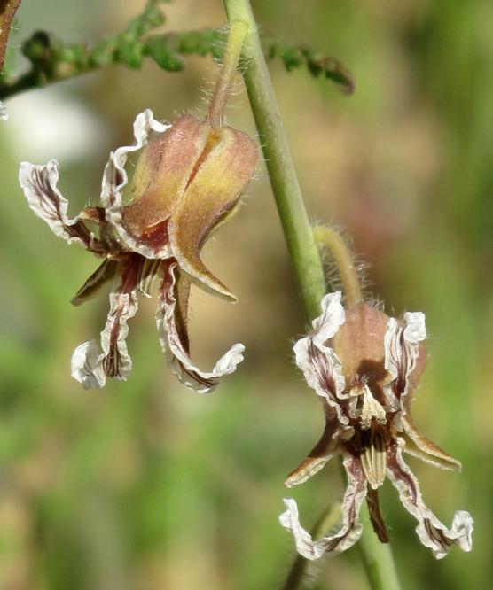 Caulanthus coulteri var. lemmonii