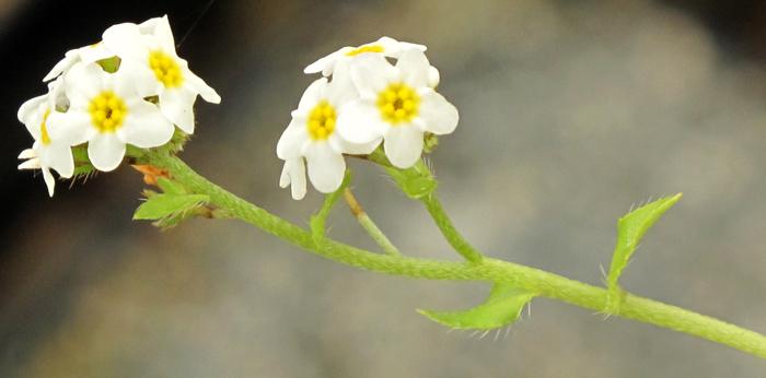 Plagiobothrys chorisianus var. chorisianus