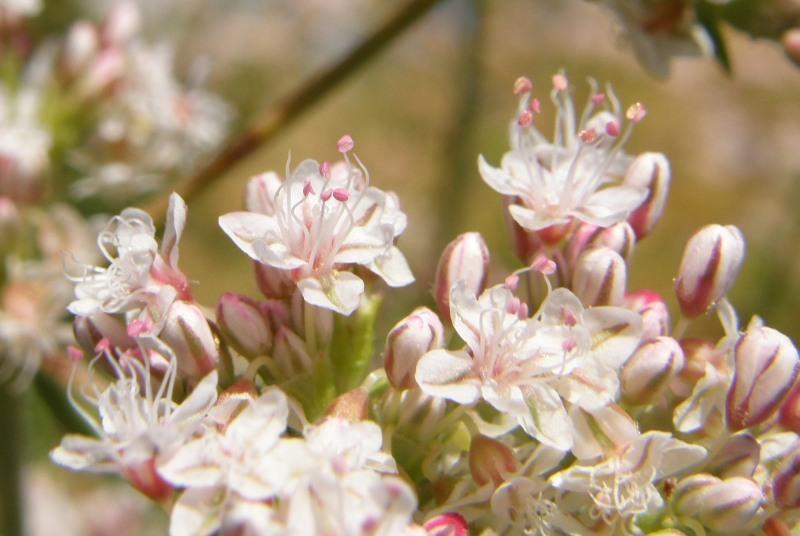 Eriogonum fasciculatum var. foliolosum