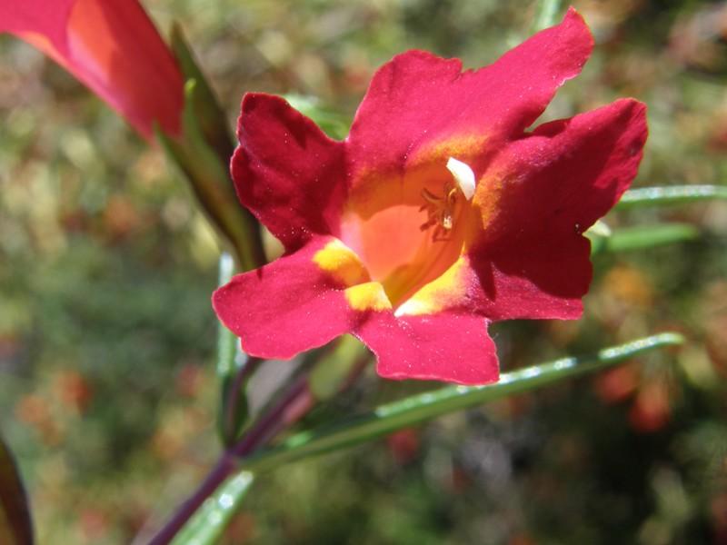 Mimulus aurantiacus var. puniceus