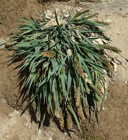 Agrostis densiflora
