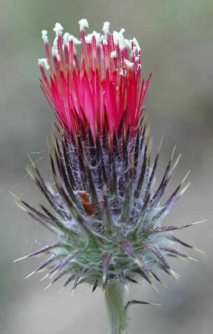 Cirsium occidentale var. occidentale