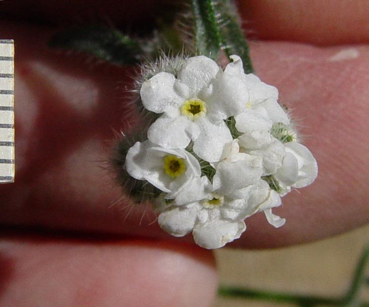 Cryptantha muricata var. muricata