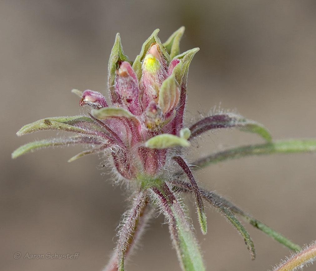 Cordylanthus capitatus