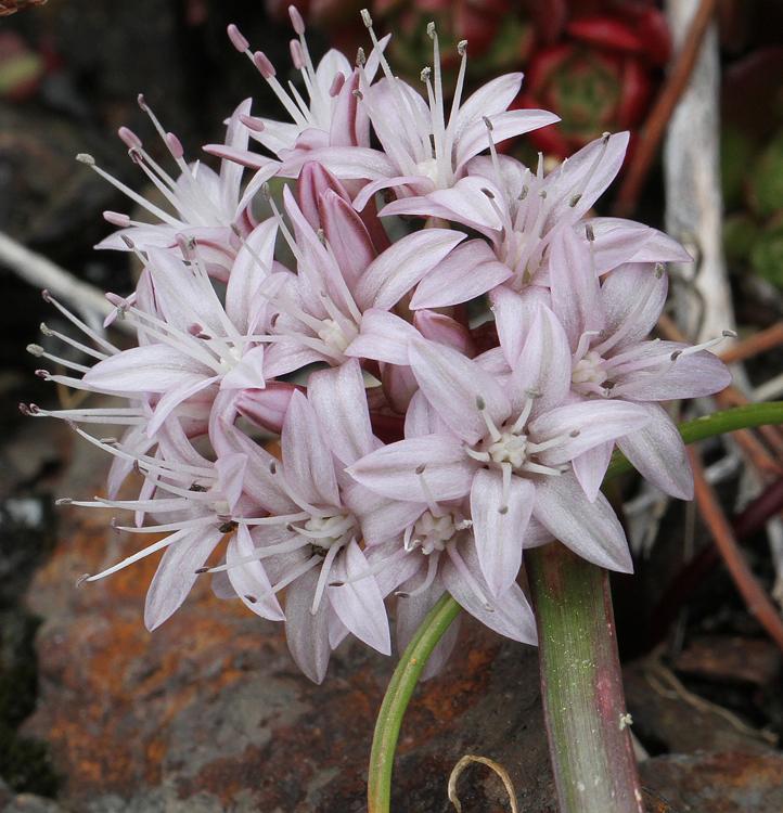Allium yosemitense