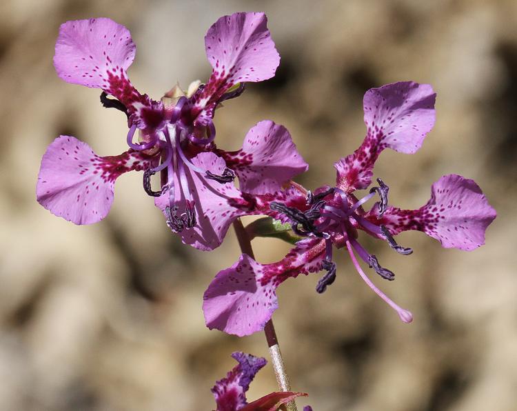 「Clarkia australis」的圖片搜尋結果