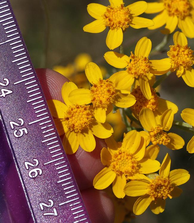 Eriophyllum confertiflorum var. tanacetiflorum