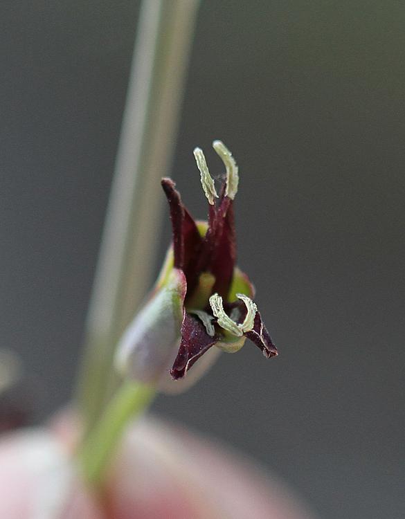 Streptanthus oliganthus