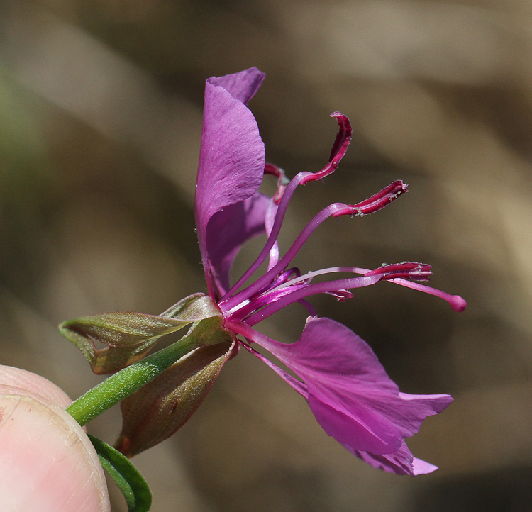 Clarkia mildrediae