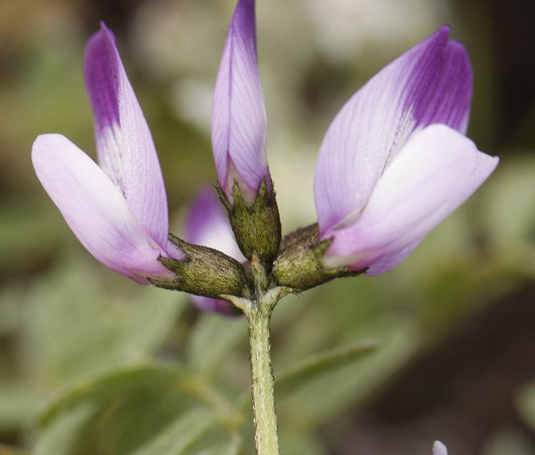 Astragalus rattanii var. jepsonianus