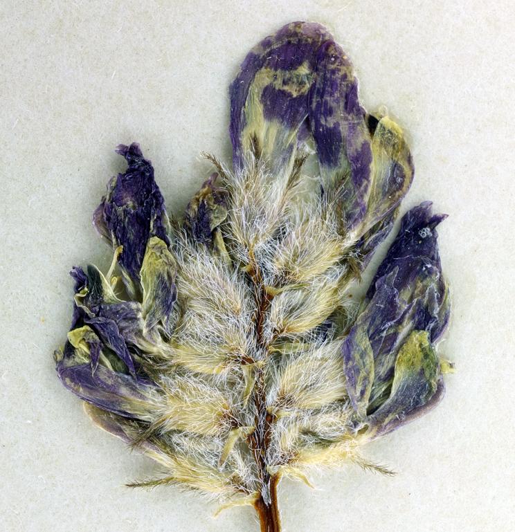 Astragalus didymocarpus var. obispoensis