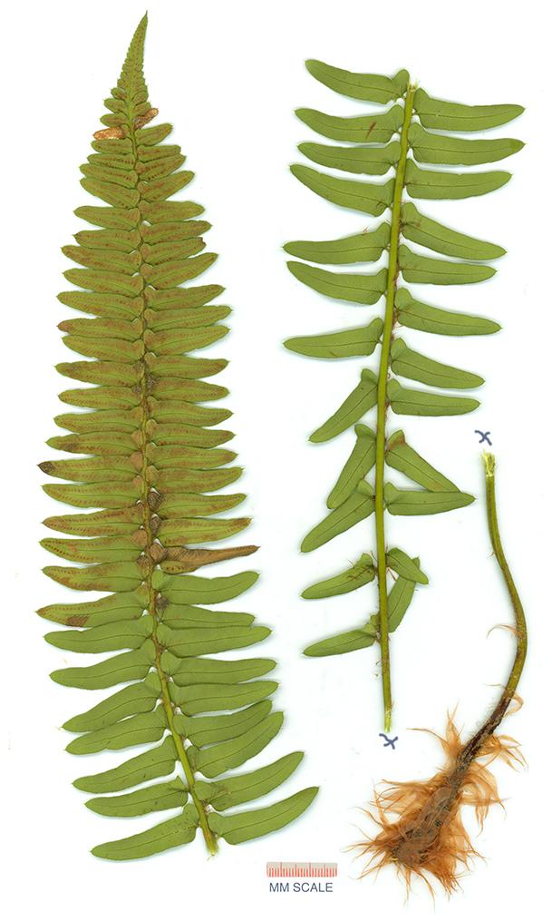 Polystichum imbricans ssp. imbricans