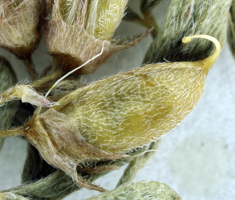 Astragalus lemmonii