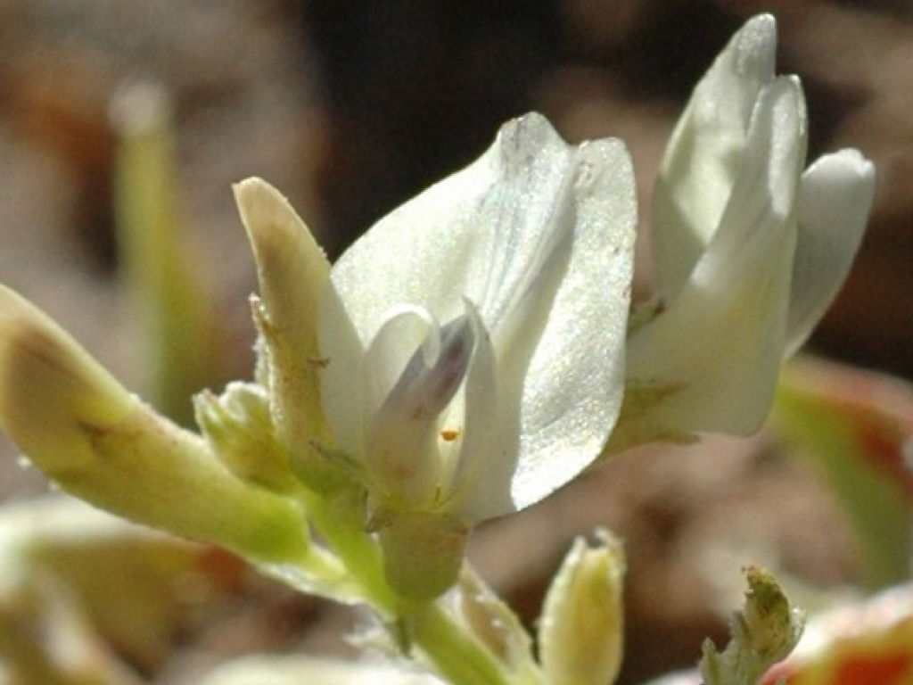Astragalus iodanthus var. iodanthus