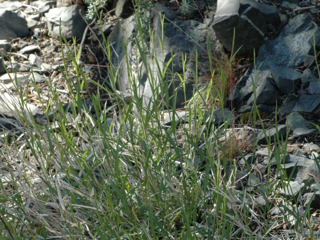 Cuniculotinus gramineus