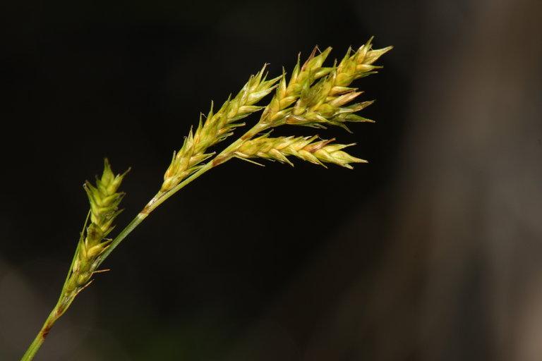 Carex bolanderi
