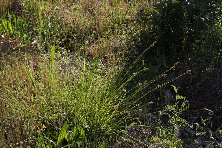 Carex subbracteata