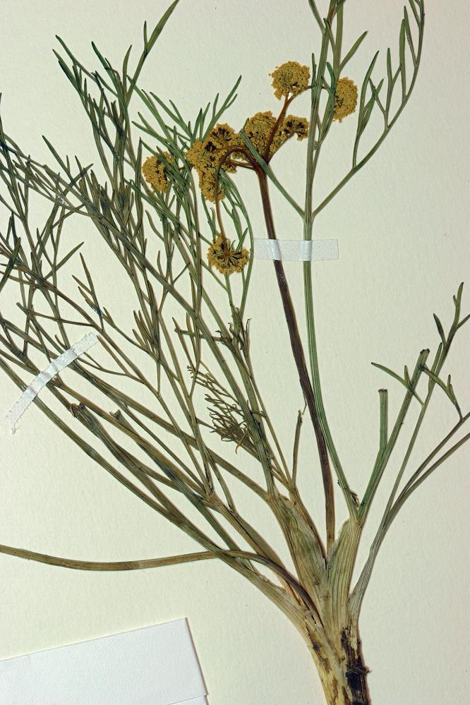 Lomatium bicolor var. leptocarpum