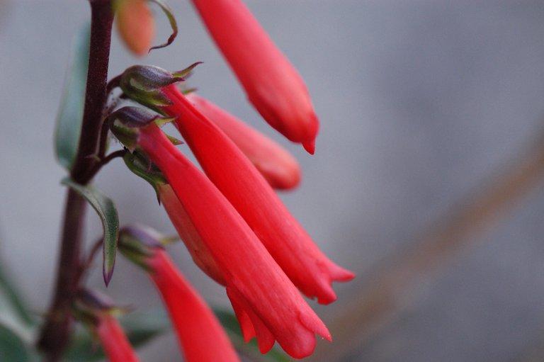 Penstemon eatonii var. undosus