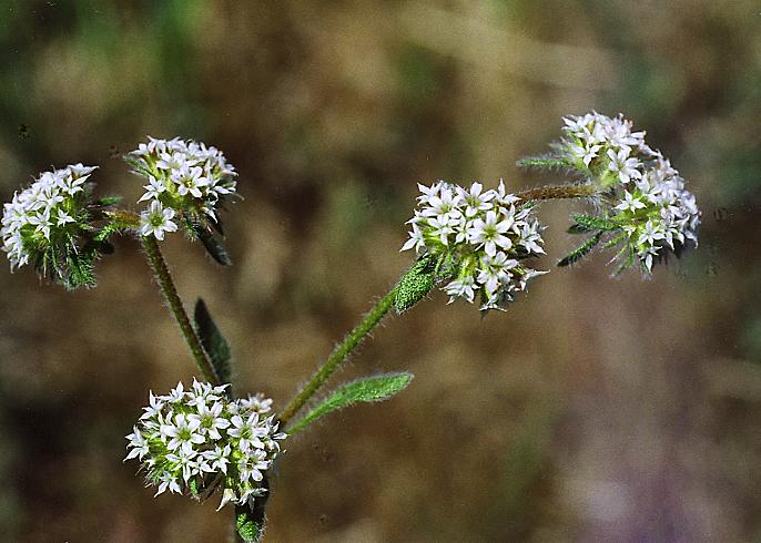 Chorizanthe robusta var. robusta