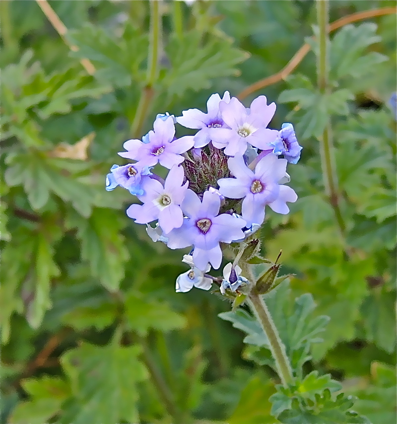 Verbena gooddingii