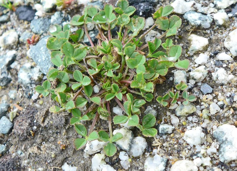 Trifolium suffocatum