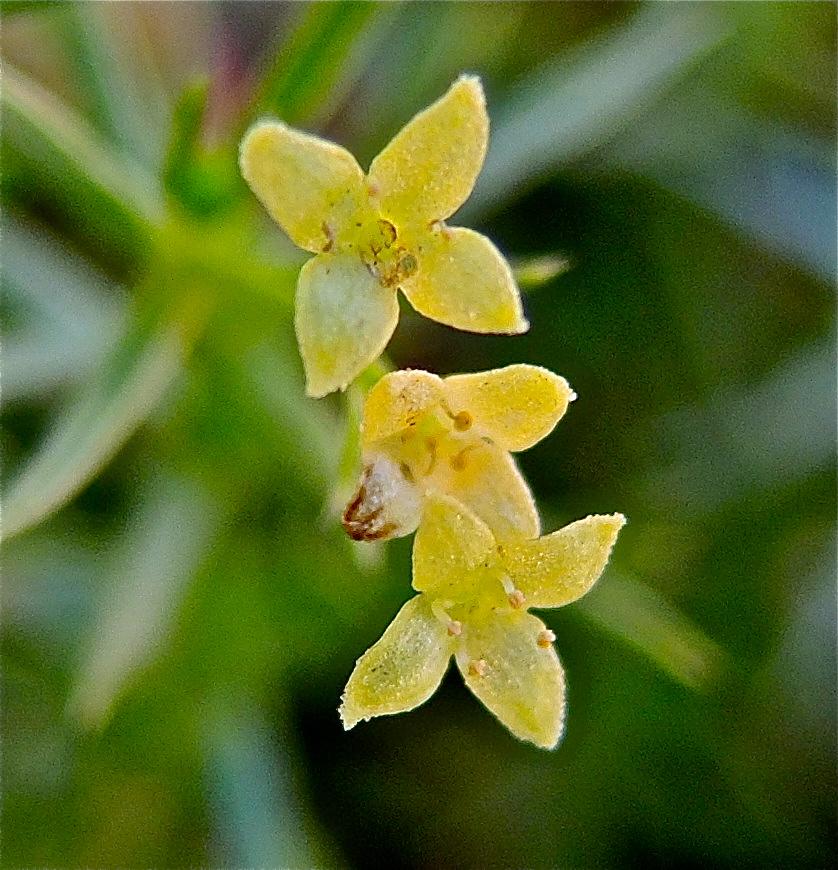 Galium andrewsii ssp. gatense