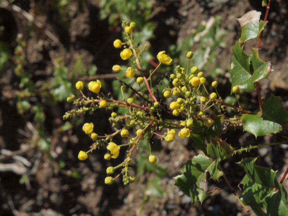 Berberis aquifolium var. dictyota