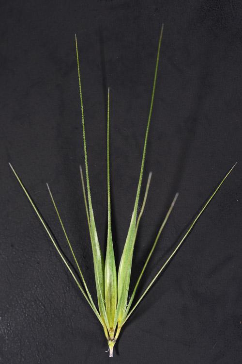 Hordeum murinum ssp. glaucum