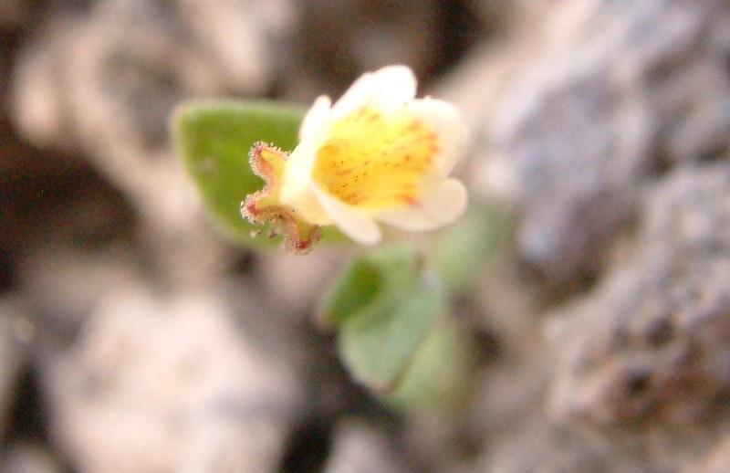 Erythranthe calcicola