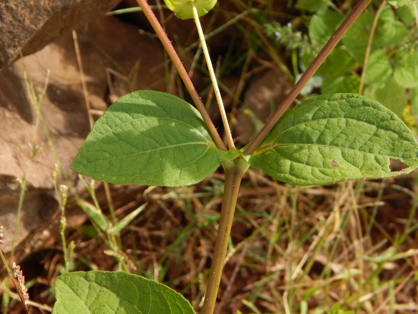 Melampodium perfoliatum